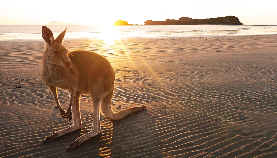 Kangaroo at the beach in Mackay